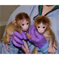"""Dünyanın İlk """"Hayali"""" Maymunları Üretildi!"""