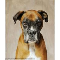 Sıradan Bir Köpek Fotoğrafçısı Hiç Değil: Paul Wal