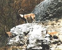 Kaçak Avcılık Yaban Keçilerini Yok Ediyor