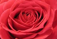 Sevgilinize Çiçek Verin