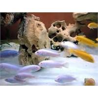 Cichlid Balığı Beslemek İstiyorum Diyorsanız