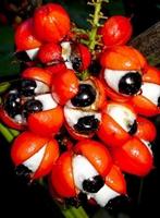 Zayıflatan Bitki - Guarana