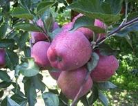 Elma Sirkesinin Faydaları Neye İyi Gelir?