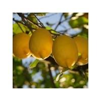 Limon Yemenin Faydaları