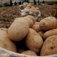 Patateste Büyük Tehlike