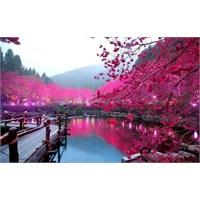 Japonya'da Kiraz Çiçekleri Dönemi!