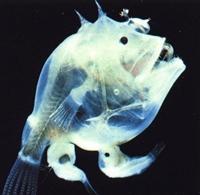 Garip Derin Deniz Balığ