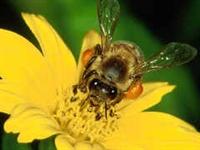 Arı Sütünün Sağlık İçin Faydaları