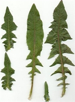 Hindiba - Kalbe Faydalı Bitkiler