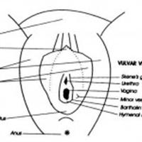 Vulva Nedir?