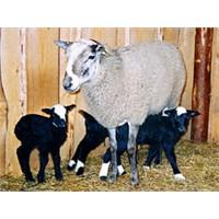 Romanov Koyunları İle Zengin Olun