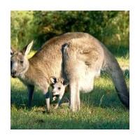 Kangurular Yavrularını Nasıl Beslerler?