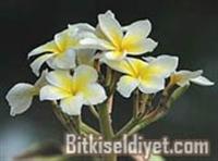 Amber Çiçeği Miskotu Ve Faydaları