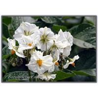 Patates Çiçeği | Patatesli Çiçekler