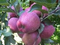 Elma Sirkesi, Doğal Güzellik