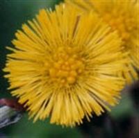 Şifalı Bitkiler - Öksürük Otu Ve Faydaları