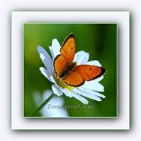 Papatya Ve Kelebeğin Hikayesi (seviyormu, Sevmiyor