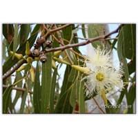 Okaliptus Ağacının Faydaları | Okaliptüs Yaprağı