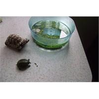 Su Kaplumbağası Bakımı Ve Beslenmesi