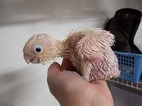 Papağanlar Eve Nasıl Alıştırılır?
