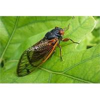 Ağustos Böcekleri Şarkı Söylüyor