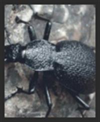 Boyunun 100 Katı Sıçrayan Böcek