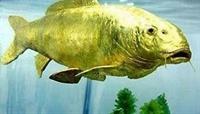 24 Ayar Balık
