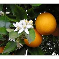 Kış Mevsiminin Gözde Meyvesi