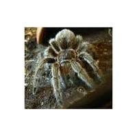 Tarantula Beslenmesi Ve Bakımı