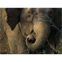 İnsanın Evrimi İle Fillerin Ne İlgisi Olabilir?