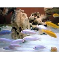 Ciklet Balığının Hamile Olduğu Nasıl Anlaşılır?