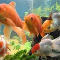 Japon Balıkları Ve Üç Saniye Yalanı