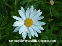 Şifalı Bitki: Papatya