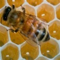 Arı Zehirinin Faydası