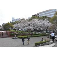 Nagoya Merkezde Sakura