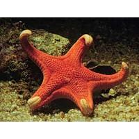 Deniz Yıldızları Ne İle Beslenir?
