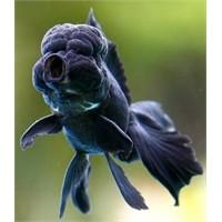 Japon Balığı Hamile Mi?