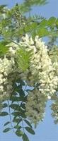 Akasya Ağacı Ve Çiçeği Özellikleri Ve Faydaları