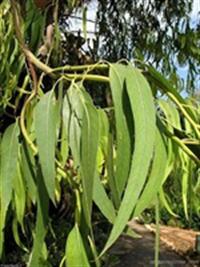 Şifalı Bitkiler - Okaliptus Ve Faydaları