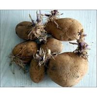 Çimlenmiş patates zehirliyebilir..!!
