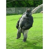 Yürüyen Goril