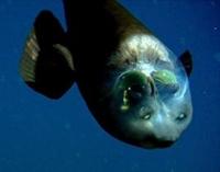 Beyni Görünen Şeffaf Balık - Macropinna Microstoma