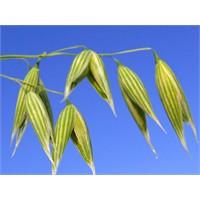 Antioksidanlar:avena Sativa (Yulaf)