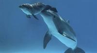 Yunus Balığının Doğumu
