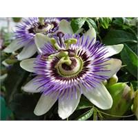 Çarkıfelek Çiçeği Çayı Ve Faydaları