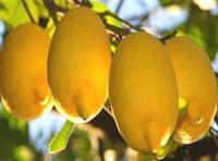 Çaya Çorbaya Limon