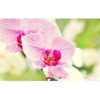 Orkide Nasıl Yaşatılır...