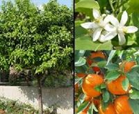 Kabızlığa Taze Portakal Yaprağı Kürü