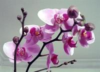 Orkidelerin Çığlığı!