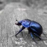Onthophagus Taurus ( En Güçlü Böcek )